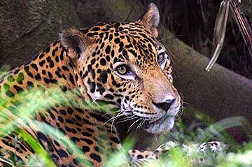 Jaguar at the Summit Garden Panama